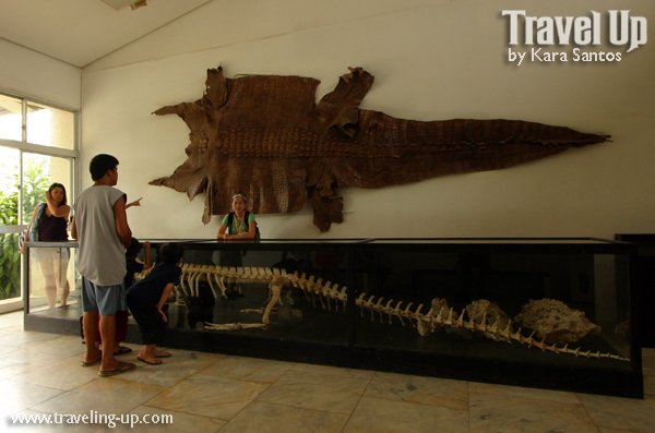 The gallery for --> Lolong Crocodile Bones